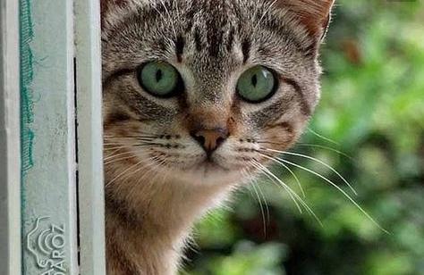 De esta forma, tu gato intentará decirte algo